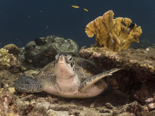 Green Sea Turtle rest at the coral reef in the Caribbean Sea at scuba dive around Curacao /Netherlands Antilles