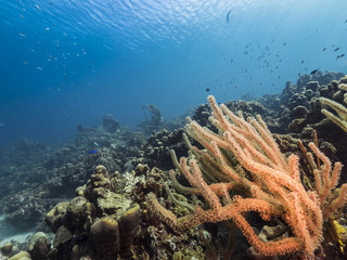 Seascape of coral reef / Caribbean Sea / Curacao with Neptun / Poseidon statue, various hard and soft corals, sponges and sea fan