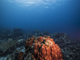 Seascape of coral reef / Caribbean Sea / Curacao with big hard coral, feather duster worm, various hard and soft corals, sponges and sea fan