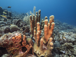 Seascape of coral reef / Caribbean Sea / Curacao with pillar coral, various hard and soft corals, sponges and sea fan