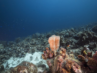 Seascape of coral reef / Caribbean Sea / Curacao with various hard and soft corals, sponges and sea fan
