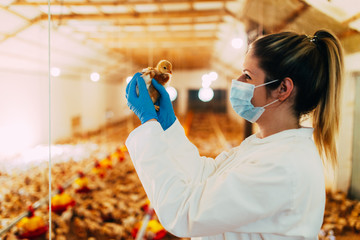 Veterinarian examining a chicken in chicken farm.