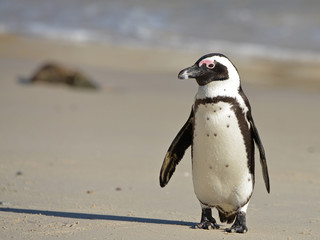 African penguin at sunrise on Boulders Beach, Cape Town, South Africa