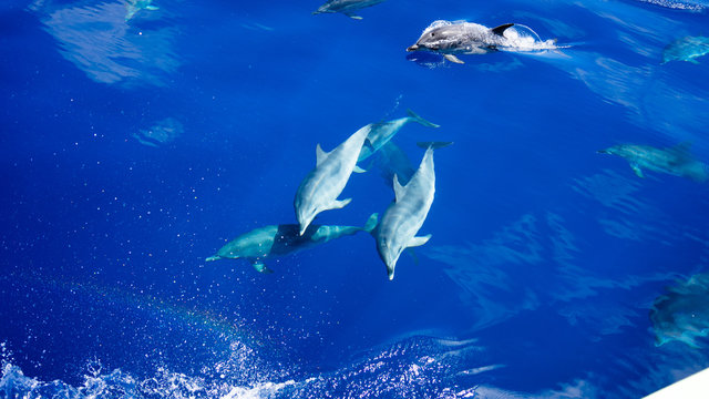 A group of dolphins swimming along with each other. Blue water. Dolphins.