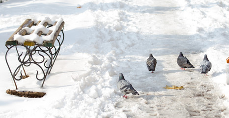 Pigeons walking in the park in winter
