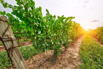 Niagara on the Lake, Grape fields Fototapete