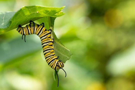 Monarch butterfly caterpillar eating milkweed - Danaus plexippus