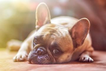 bulldog dog pet animal sleeping cute tired light friend