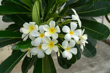 Frangipani flower, Pagoda tree