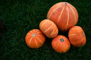 Ripe orange pumpkin patch on sunny autumn day on green grass, natural food background