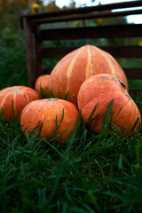 Harvested  orange pumpkins on the green grass in the farm