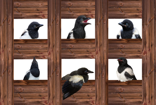 Young Magpies in different expressions are looking out of wooden sqares.