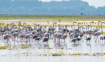 Flock of greater flamingos  (Phoenicopterus roseus ) shot  at lake Kerkini in Greece. Fotoväggar
