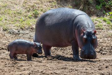 Wall Mural - Hippo (Hippopotamus amphibius)