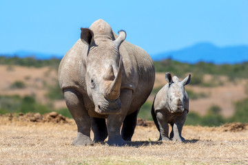 Photo sur Aluminium Rhino African white rhino