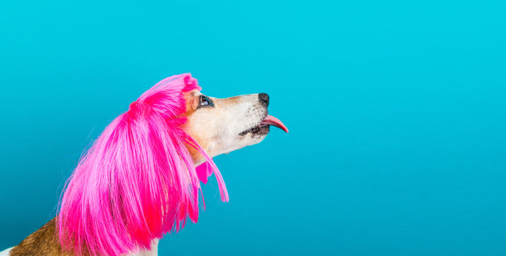 LOvely funny dog pet in bright pink wig with tongue licking. Blue background. Fashion and fun