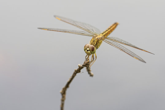 Ditch Jewel dragonfly - Brachythemis contaminata, beautiful blue dragonfly from Sri Lanka lakes and rivers.
