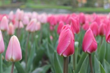 Aluminium Prints Tulip Tulp from Holland