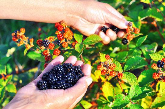 Hands picking blackberries during main harvest season. Wild ripe and unripe blackberries grows on the bush. Female hands hold blackberries. Selective focus