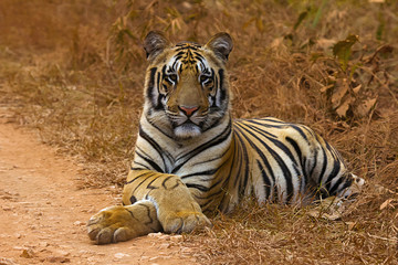 Tiger Panthera tigris tigris- Jaichand, Umred-Karhandla Wildlife Sanctuary, Maharashtra, India
