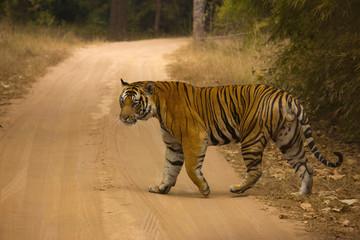 Tiger Panthera tigris tigris- Mahaman male, Bandhavgarh Tiger Reserve, Madhya Pradesh, India