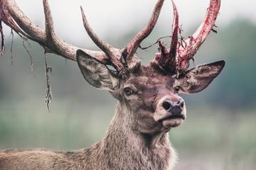 Wall Murals Deer Red deer stag with fresh swept bloody antler. Headshot.