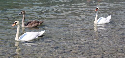 Cigni al lago