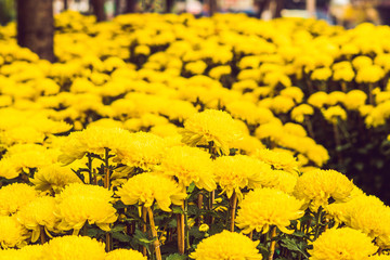 Yellow flowers in honor of the Vietnamese new year. Lunar new year flower market. Chinese New Year. Tet