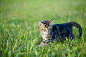 Kitten young playful hunting grasshopers in the grass