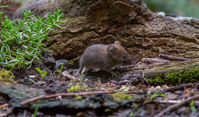 Vole rodent in forest