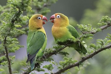 Photo Blinds Nature Lilian's lovebird - Nyasa-agapornis