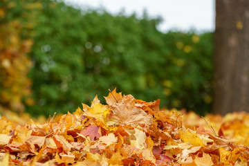 Pile of maple leaves, autumn colors Wall mural