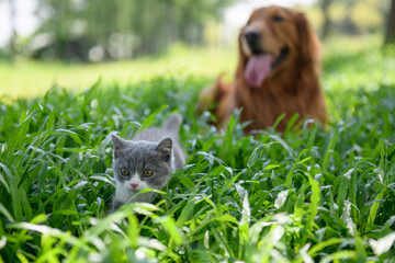 Golden retriever and Kitten playing in the meadow
