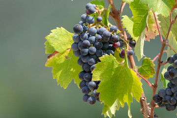 Red wine grapes plant, new harvest of black wine grape in sunny day Fototapete