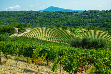 Fototapete - French red AOP wine grapes plant, new harvest of wine grape in France, Vaucluse, Gigondas domain or chateau vineyard Dentelles de Montmirail