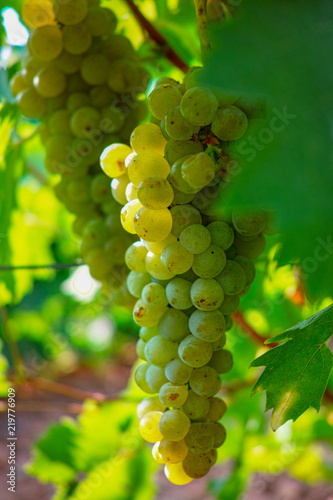 Ripe white wine grapes plants on vineyard in France, white