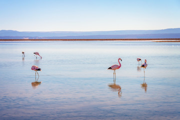 Andean flamingos in Laguna Chaxa, Atacama salar, Chile