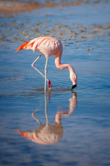 Close up of a Chilean flamingo in Laguna Chaxa, Atacama salar, Chile
