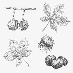 Vector chestnut leaf and nuts drawing set. Autumn elements. Hand drawn detailed botanical illustration