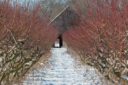 Snow Dusted Peach Orchard in Southern Maryland Calvert County