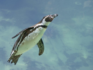 Humboldt penguin (Spheniscus humboldti) swimming under blue water
