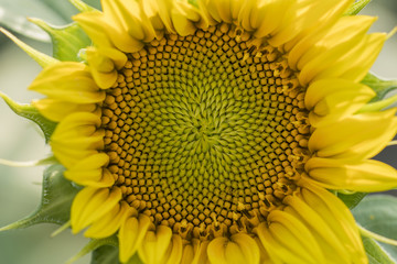 Sunflower in detail in nature.