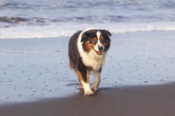 Perro Pastor Australiano corriendo sobre la arena mojada de una playa