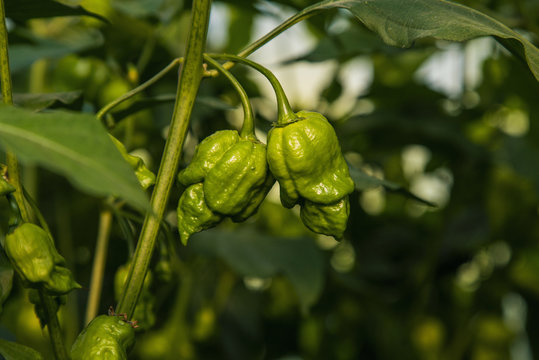 Green Trinidad Scorpion hot peppers on plant