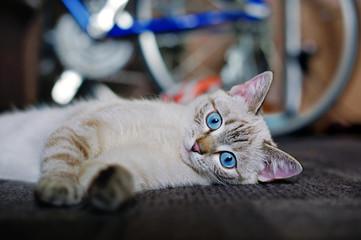 Blue eyes little kitten laying on the floor