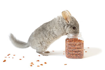 The cute chinchilla eating dry carrot from jar of carrot