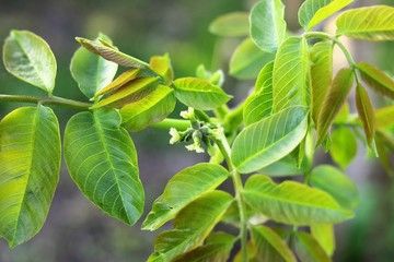 Young flower, walnut. Spring bloom on a walnut tree.