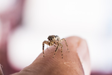 Close Up image of Jumping Spider on Man Hand with blur background.Selective Focus.Visible Noise due to High ISO