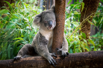 Photo sur Toile Koala koala bear cute.