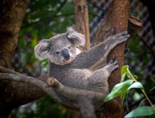 Canvas Prints koala bear cute.